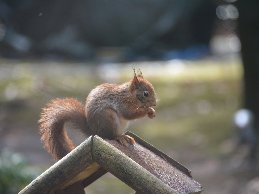 Many squirrels are visiting the garden, nice to see